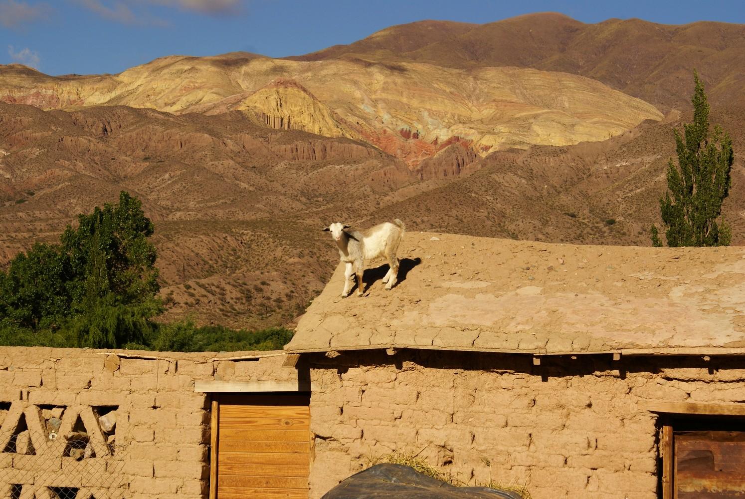 Chèvre - Solar del Tropico