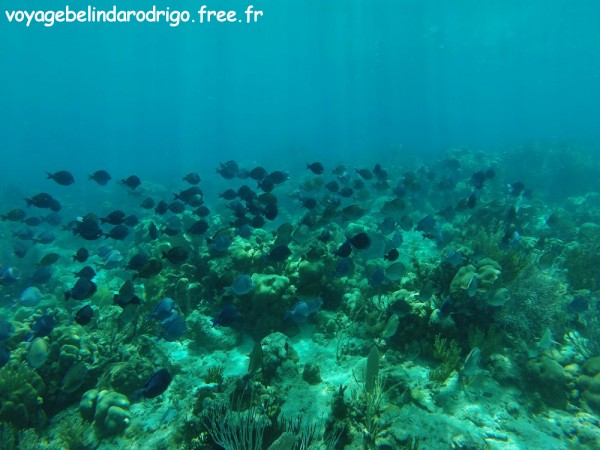 Banc de Poissons Chirurgiens bleus - Snorkeling - The Wall - Isla Catalina