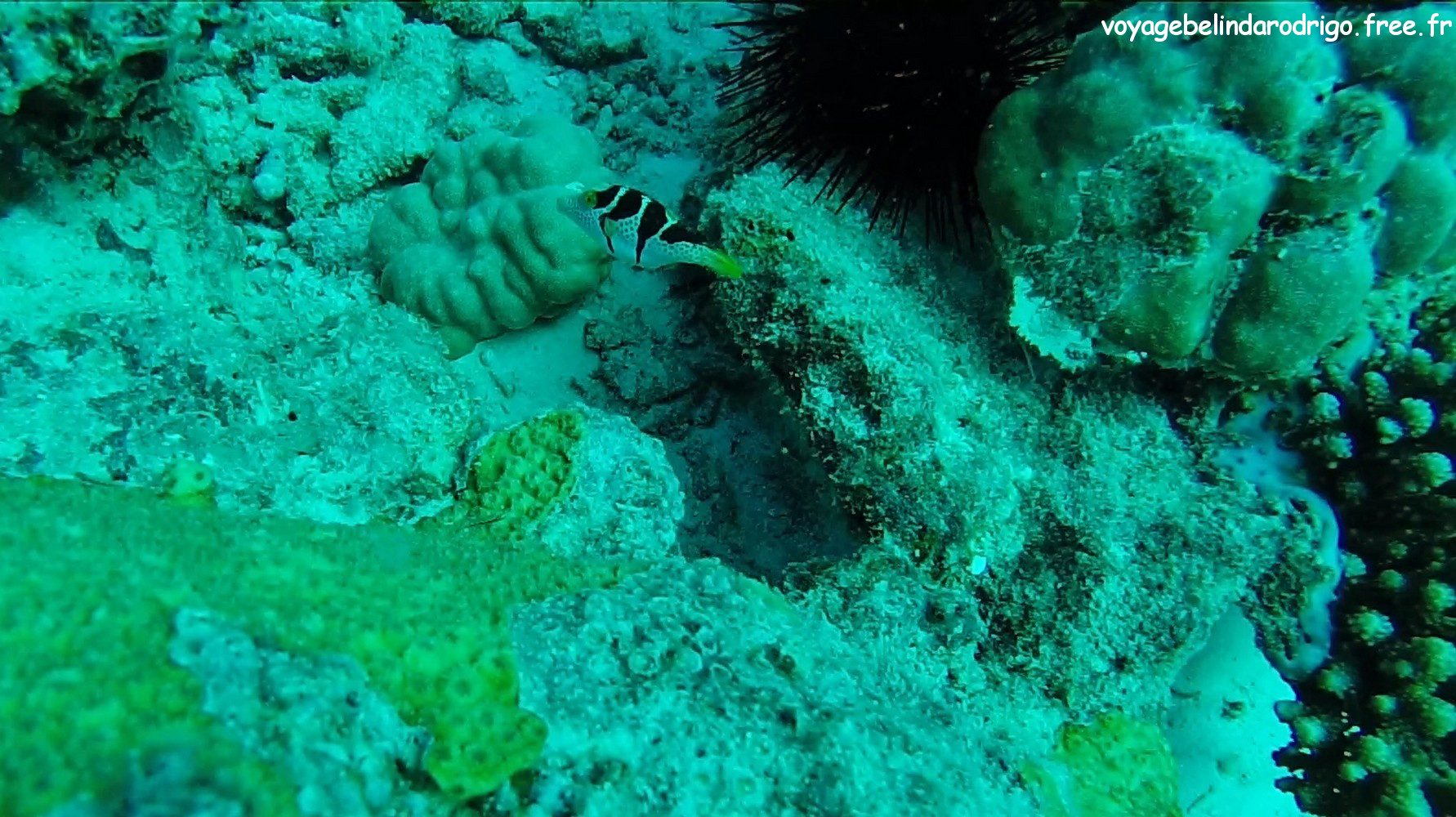 Canthigaster à selles - Plongée - Praslin