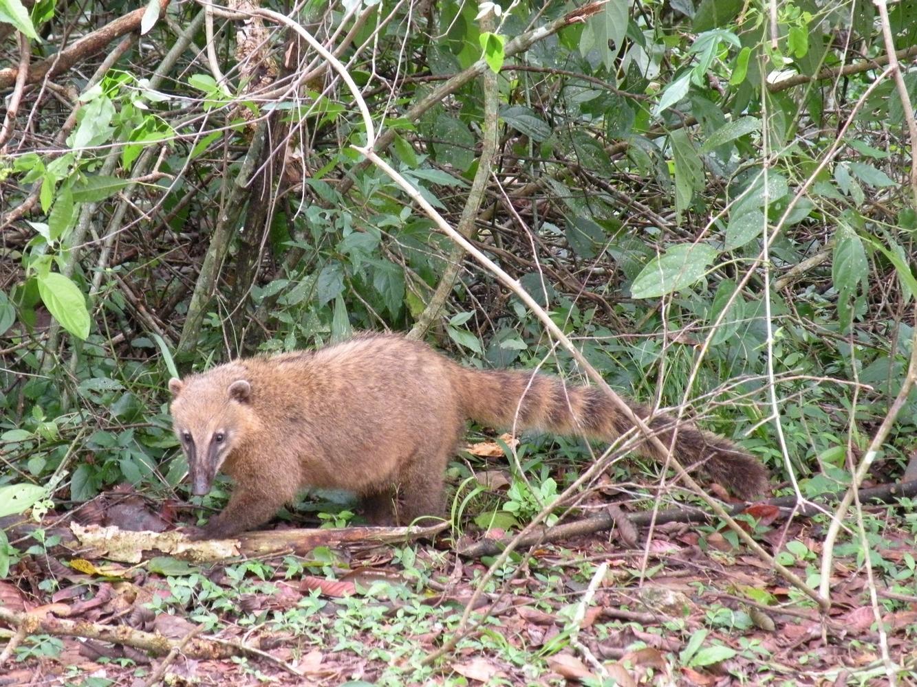 Coati - Iguazu