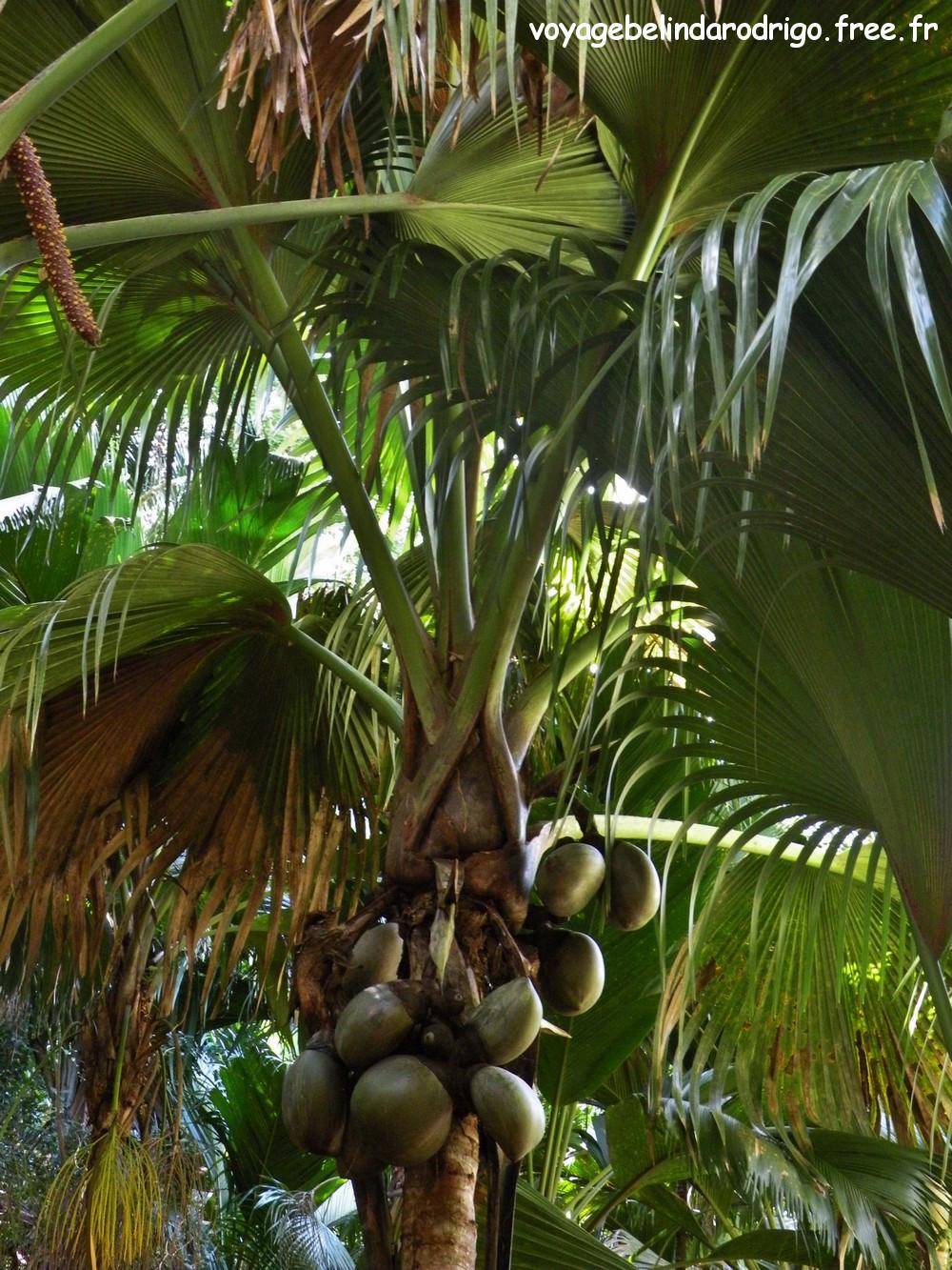 Coco de Mer femelle - Vallée de Mai - Praslin