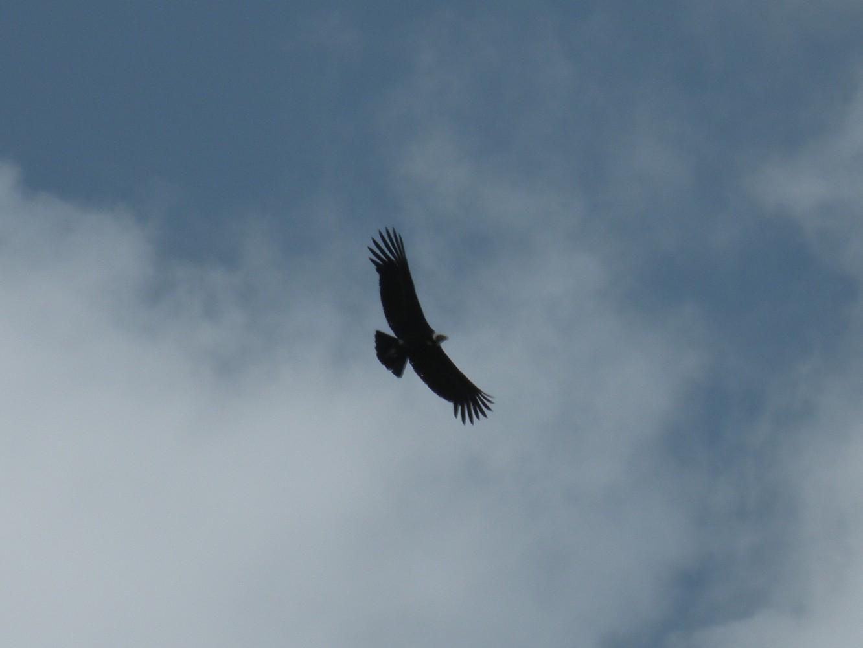 Condor - Puerto Blest - Argentina