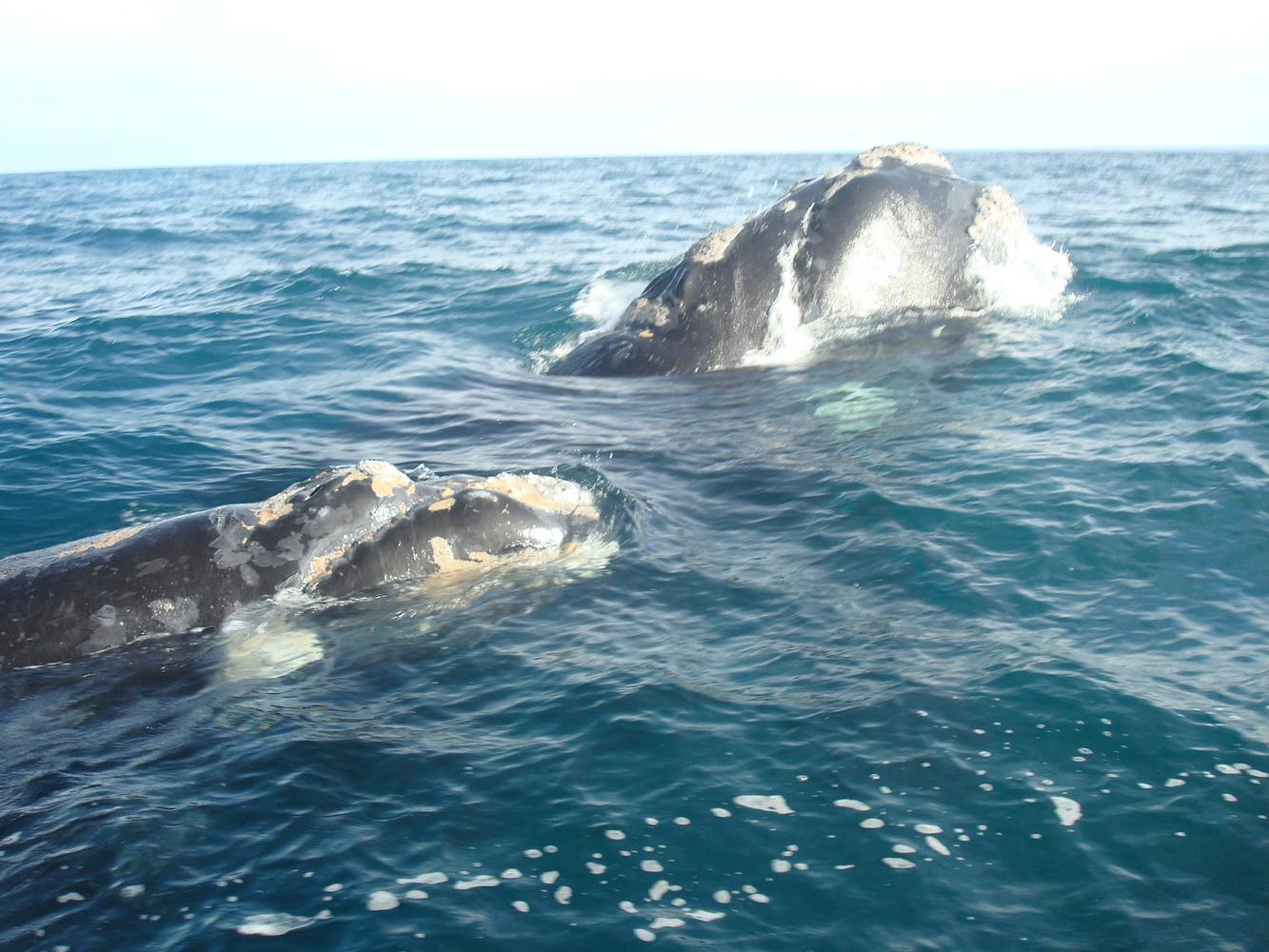 Baleines - Puerto Pirámides