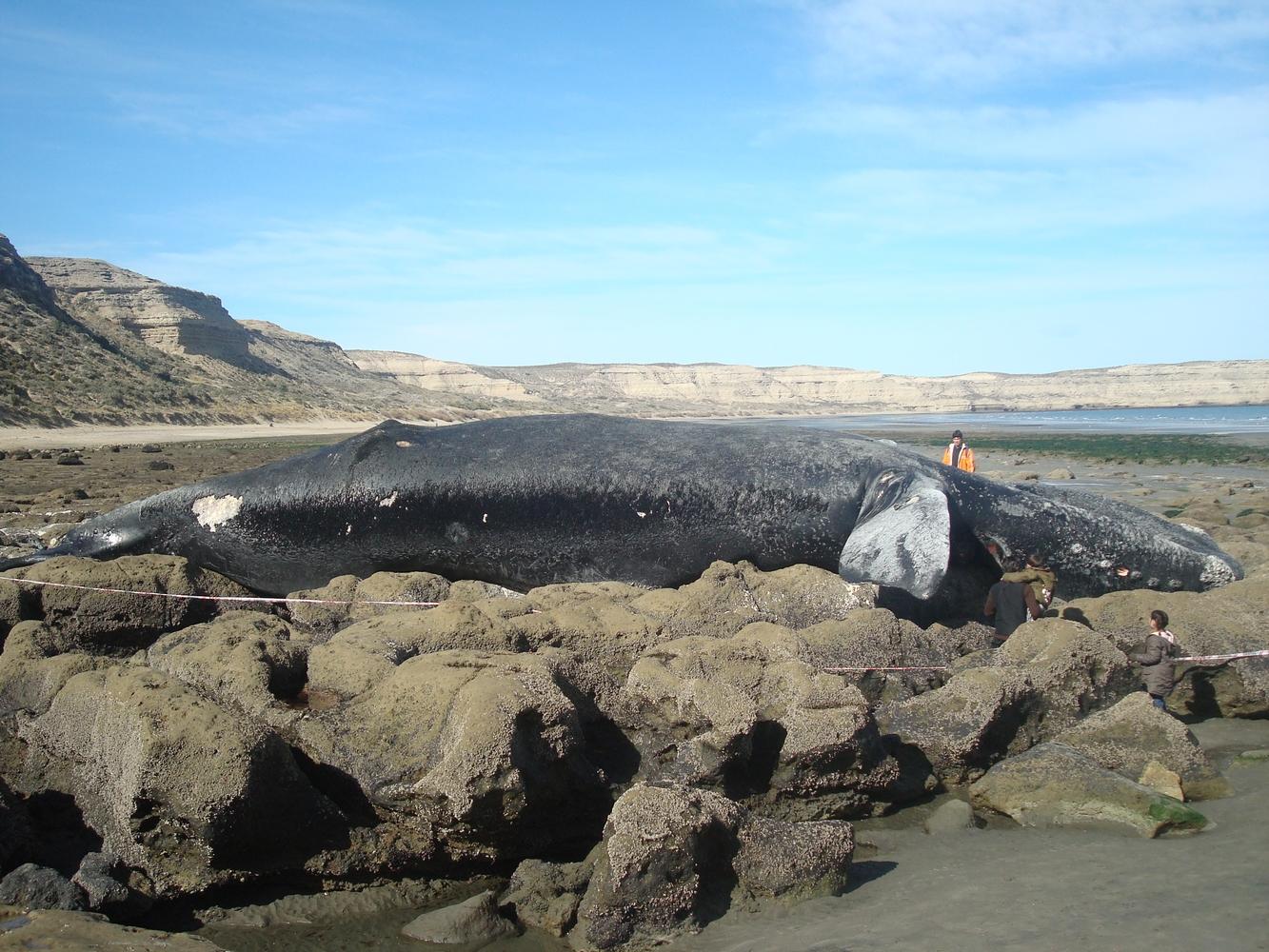 Baleine échouée - Puerto Pirámides