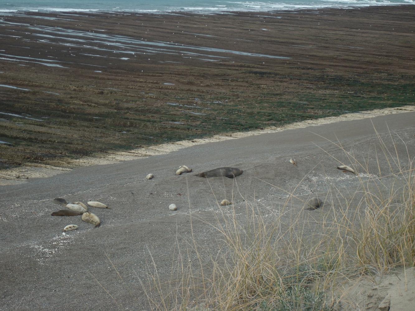 Eléphants de mer - Punta Delgada