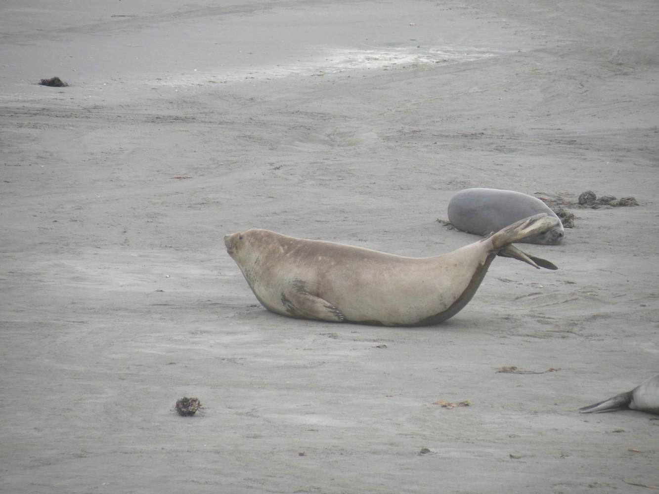 Eléphants de mer - Péninsule Valdés