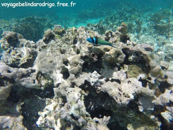 Girelle tête bleue - Snorkeling - Playa Fronton - Las Galeras
