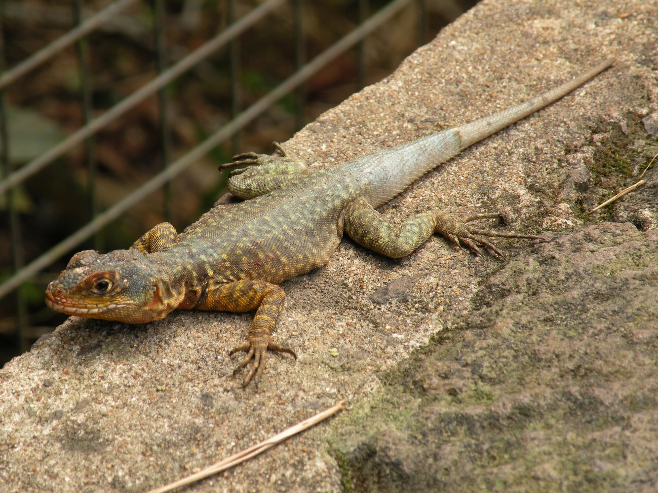 Lézard – Parque Nacional Iguazú