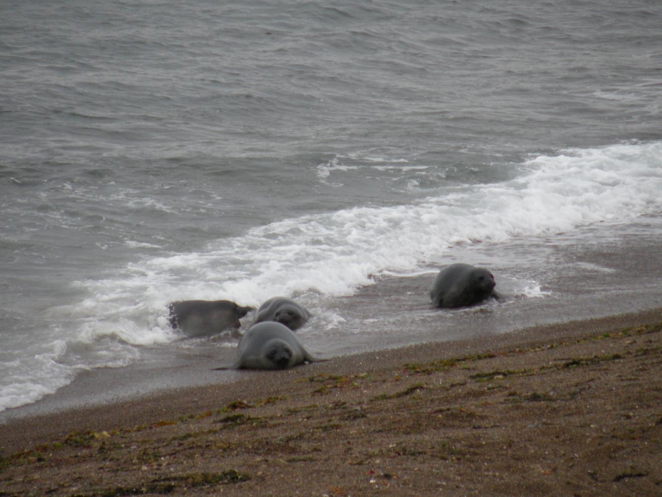 Lions de mer - Péninsule Valdés