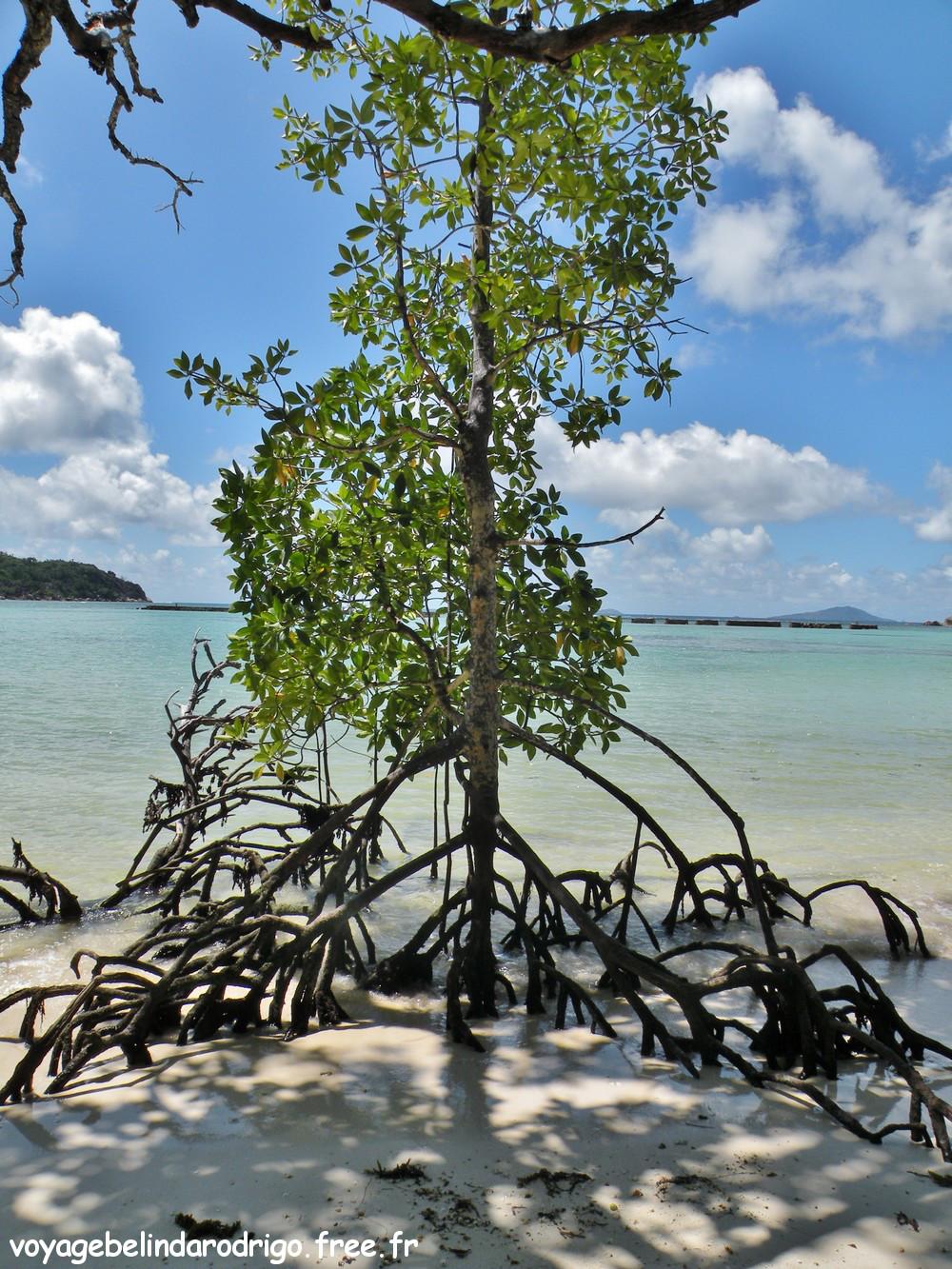 Mangrove - Curieuse