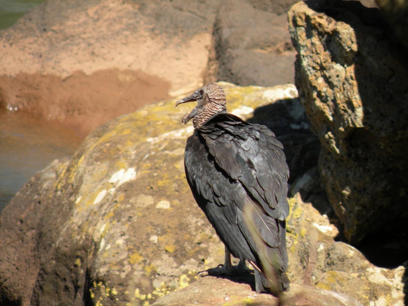 Oiseau Isla San Martin - Parque Nacional Iguazú