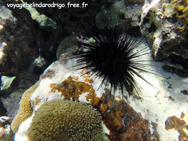Oursin noir et Anémone soleil - Snorkeling - Playita - Las Galeras