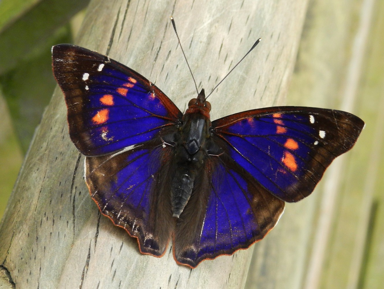 Papillon – Parque Nacional Iguazú