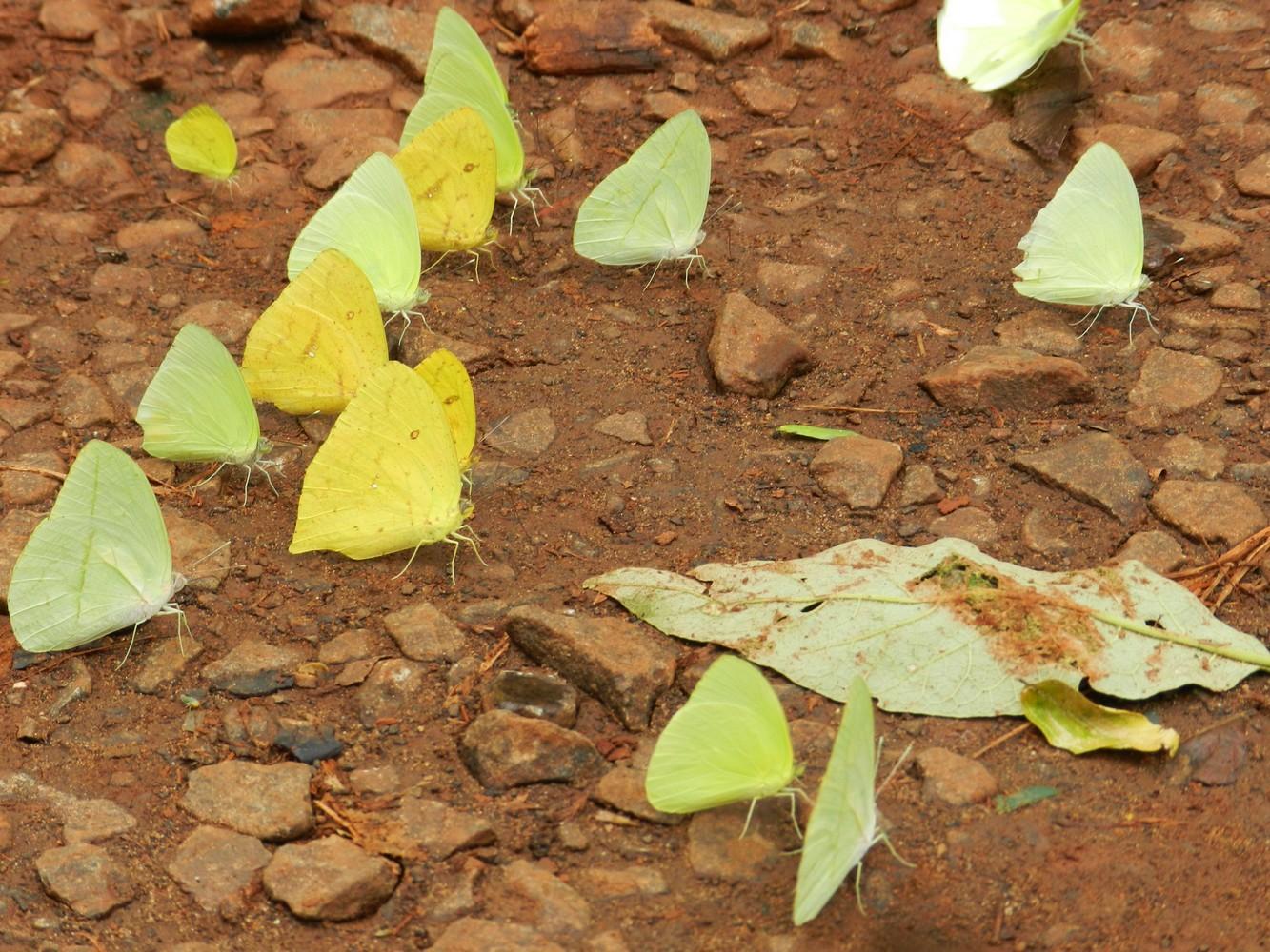 Papillons – Parque Nacional Iguazú