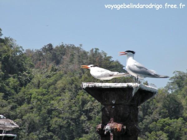 Sternes royales - Parque Nacional Los Haitises