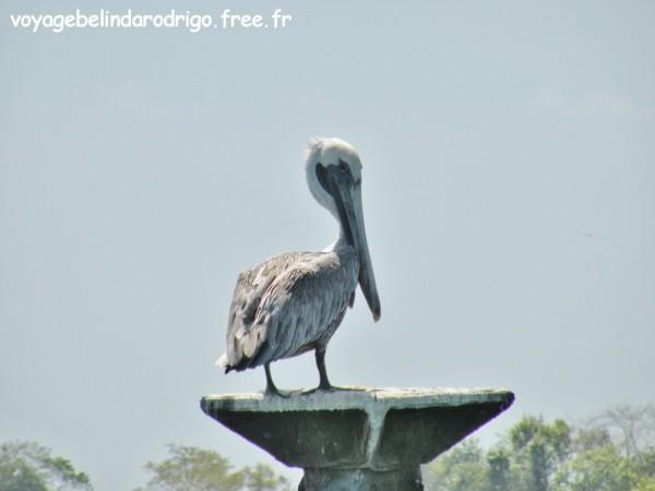 Pélicans - Parque Nacional Los Haitises