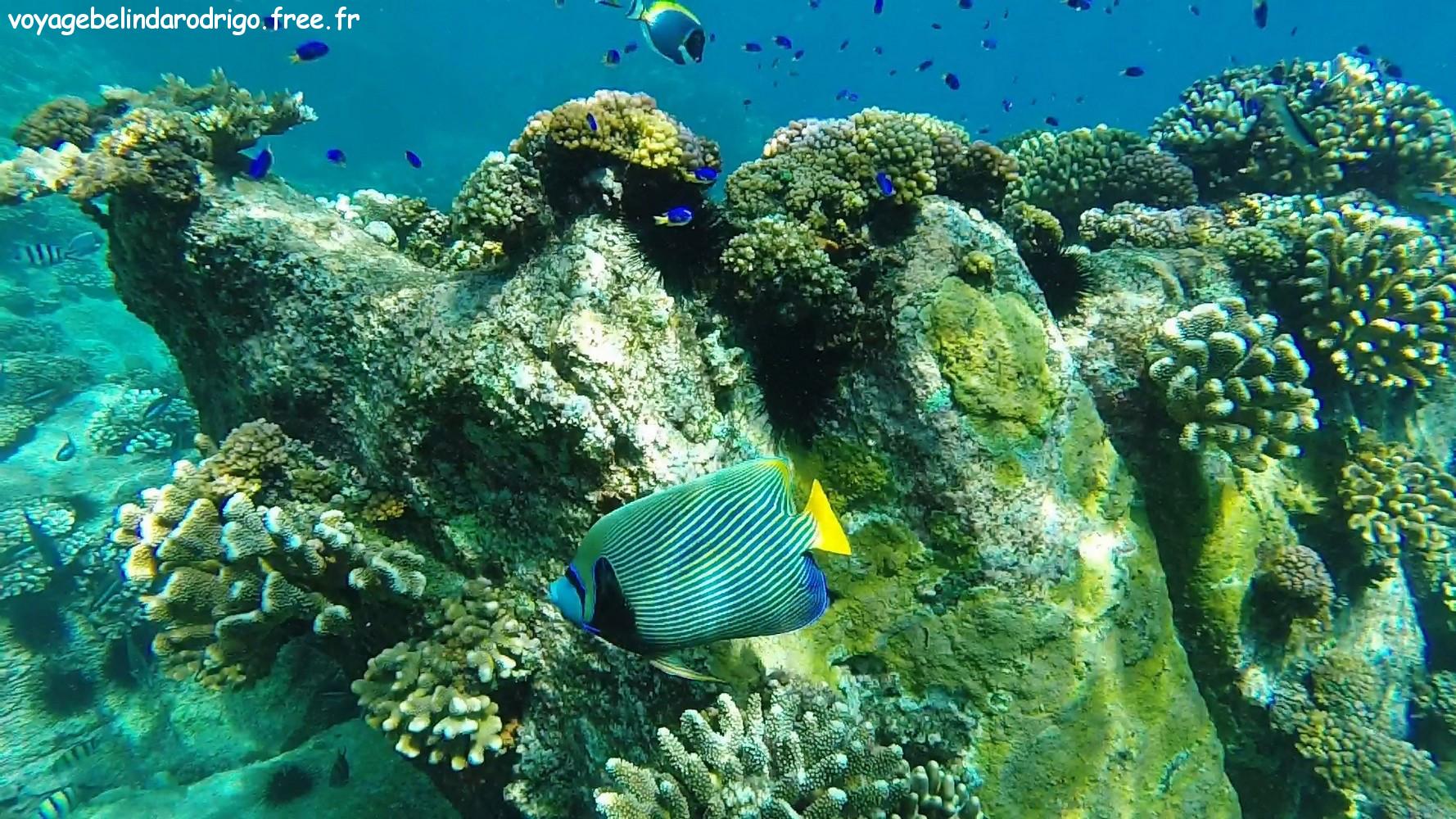 Poisson Ange empereur - Snorkeling -  Îles Félicité et Cocos