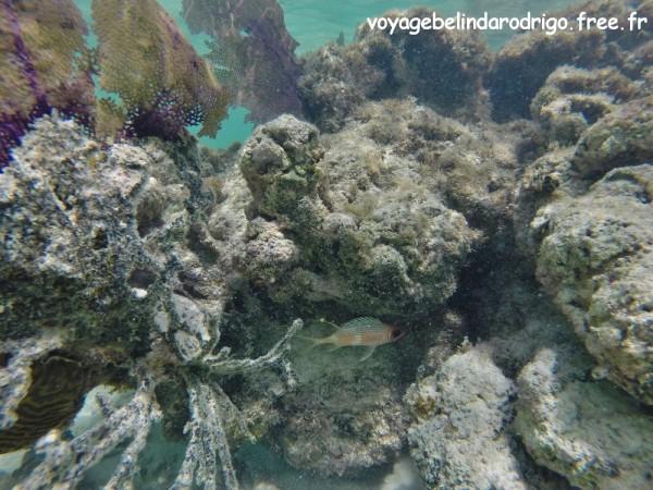 Poisson Cardinal balnc - Snorkeling - Canto de la Playa - Isla Saona