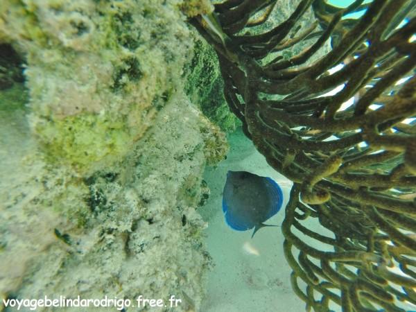 Poisson Chirugien bleu - Snorkeling - Canto de la Playa - Isla Saona