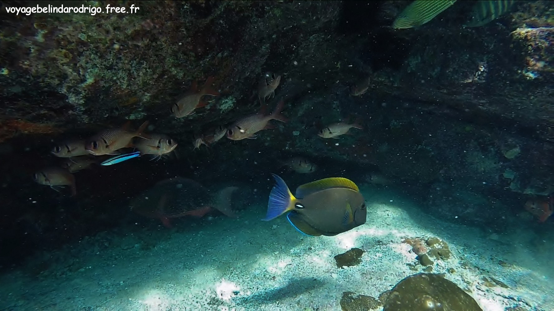 Poisson Chirurgien à oeil rayé - Snorkeling - Îlot St Pierre - Praslin