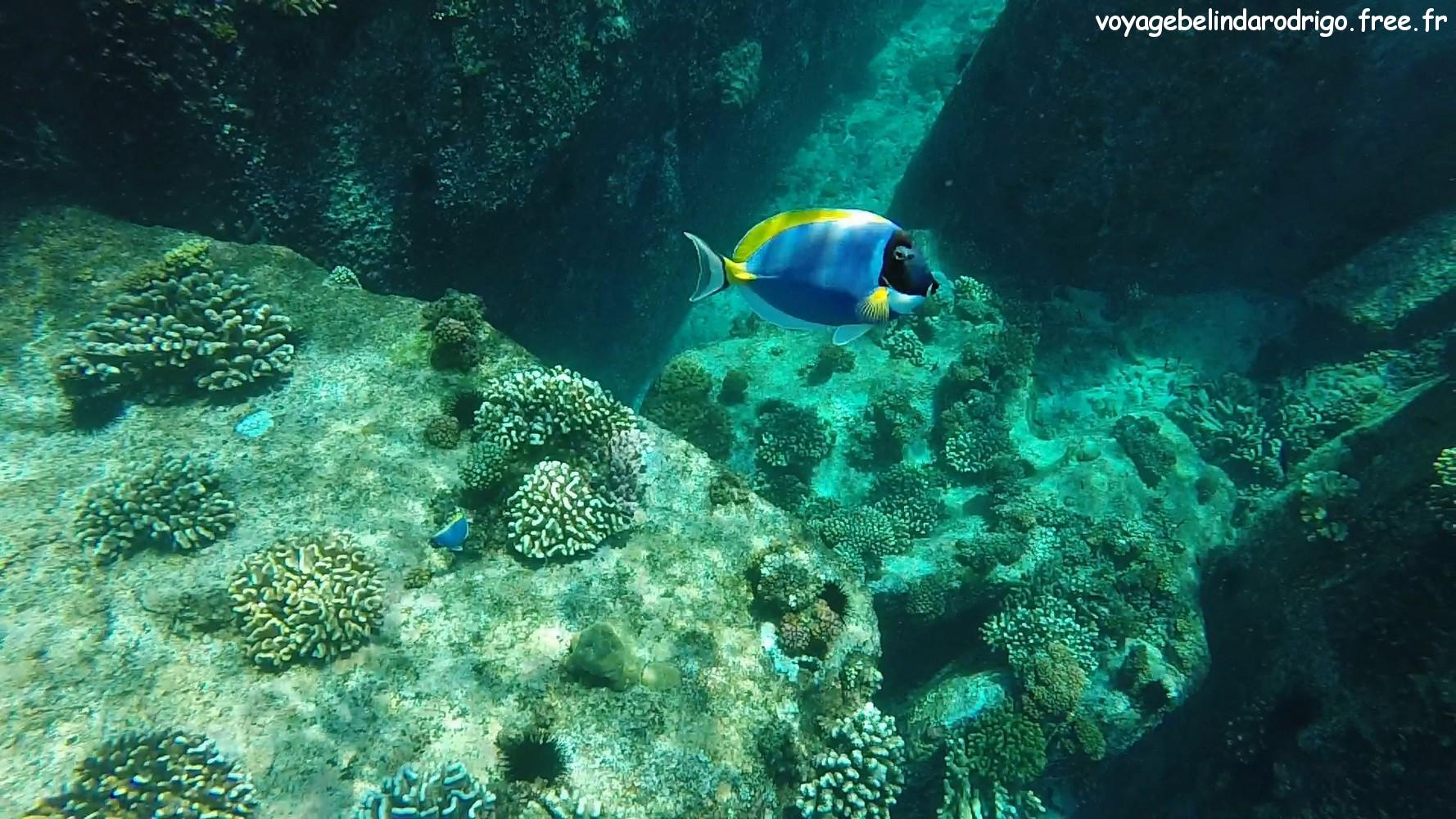 Poisson Chirurgien à poitrine blanche - Snorkeling -  Îles Félicité et Cocos