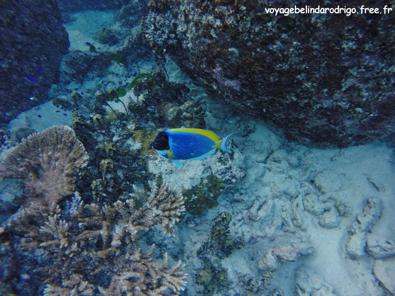 Poisson Chirurgien à poitrine blanche - Snorkeling - Anse Lazio - Praslin