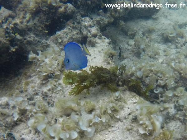 Poisson Chirurgien bleu - Snorkeling - Plage Isla Catalina