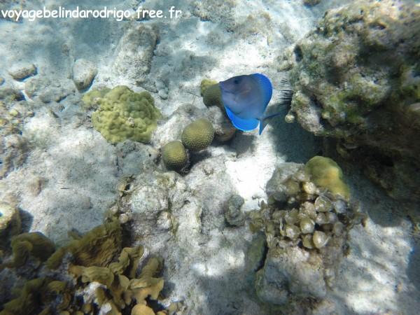 Poisson Chirurgien bleu - Snorkeling - Playa Fronton - Las Galeras