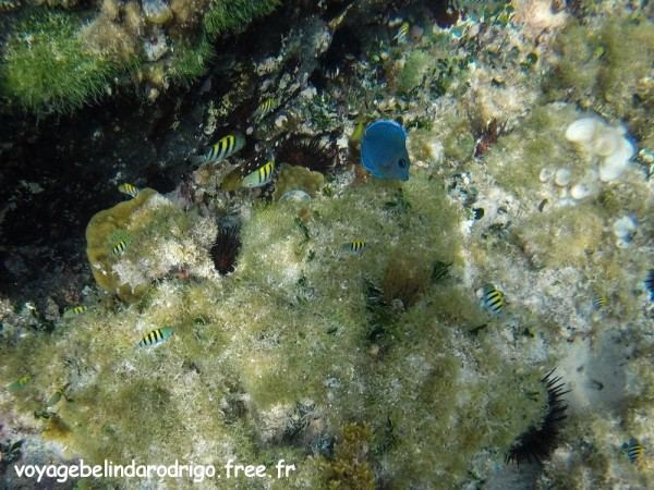 Poisson Chirurgien bleu et poissons Sergent Major - Snorkeling - Playita - Las Galeras