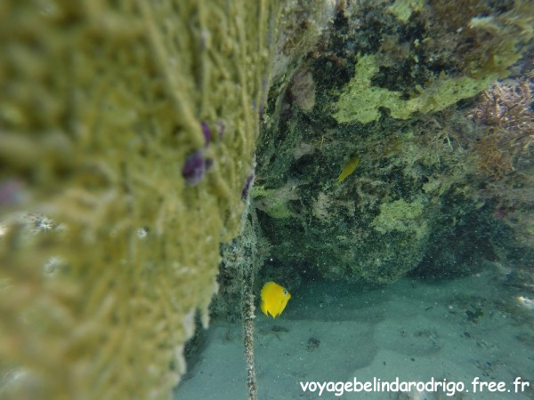 Poisson Chirurgien bleu juvénile - Snorkeling - Canto de la Playa - Isla Saona