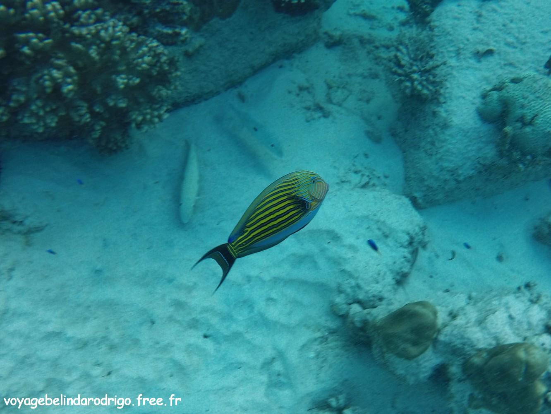 Poisson Chirurgien rayé - Snorkeling - Anse Lazio - Praslin