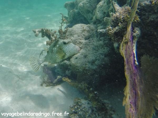 Poisson Coffre - Snorkeling - Canto de la Playa - Isla Saona