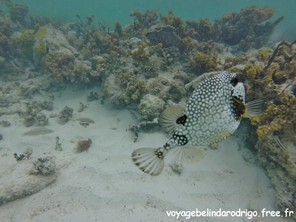 Poisson Coffre mouton - Snorkeling - Canto de la Playa - Isla Saona