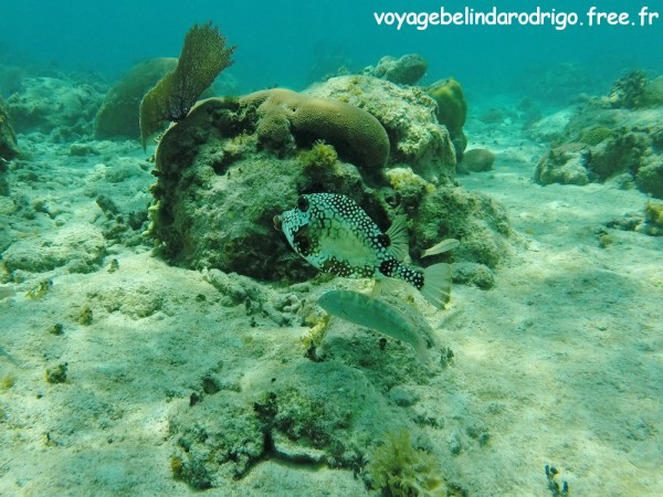 Poisson Coffre mouton - Snorkeling - The Wall - Isla Catalina
