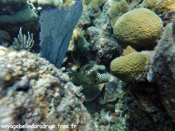 Poisson Coffre zinga - Snorkeling - The Wall - Isla Catalina