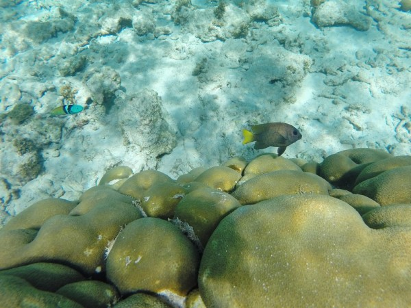 Poisson Demoiselle et Girelle - Snorkeling - Playa Fronton - Las Galeras