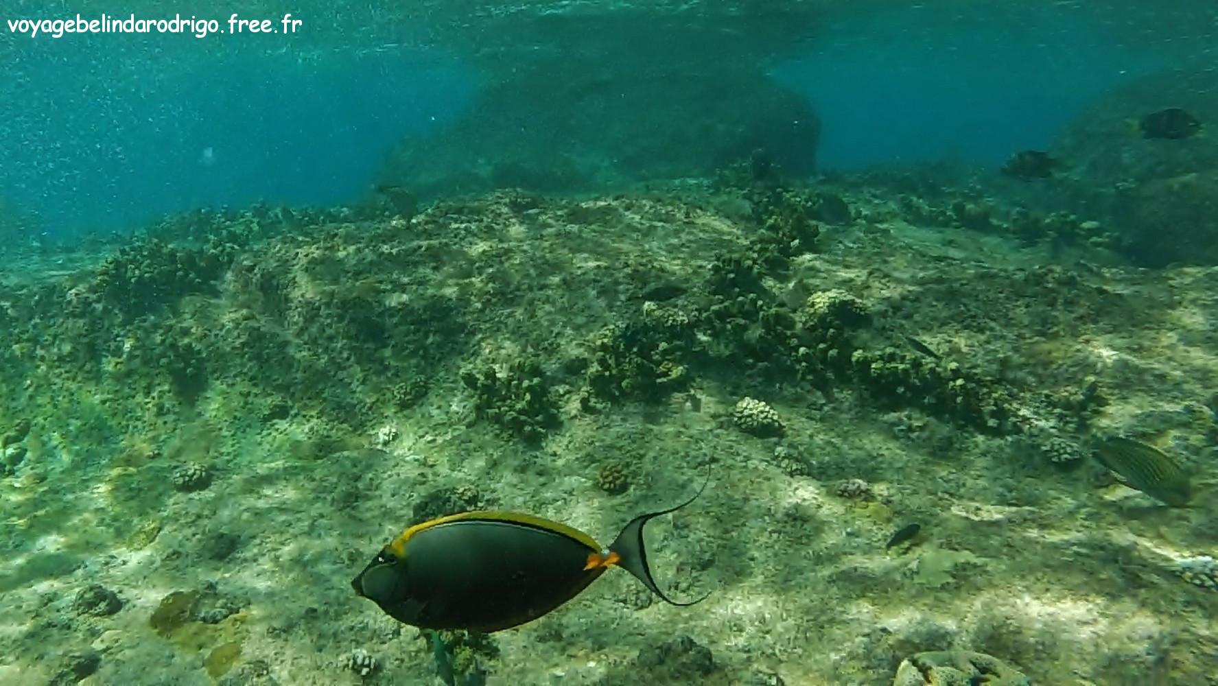 Poisson Nason Licorne  à éperon orange - Snorkeling - Îlot St Pierre - Praslin