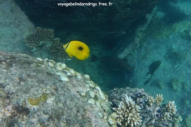 Poisson Papillon à larme - Snorkeling - Anse Lazio - Praslin