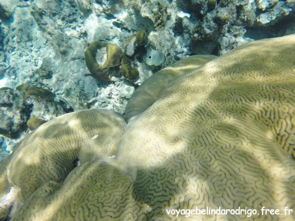 Poisson Papillon à quatre yeux - Snorkeling - Playa Fronton - Las Galeras