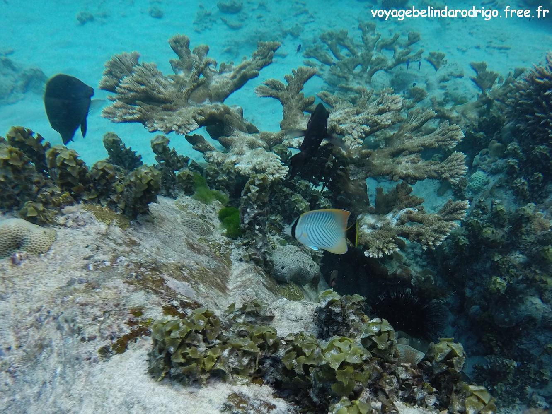 Poisson Papillon - Snorkeling - Anse Lazio - Praslin