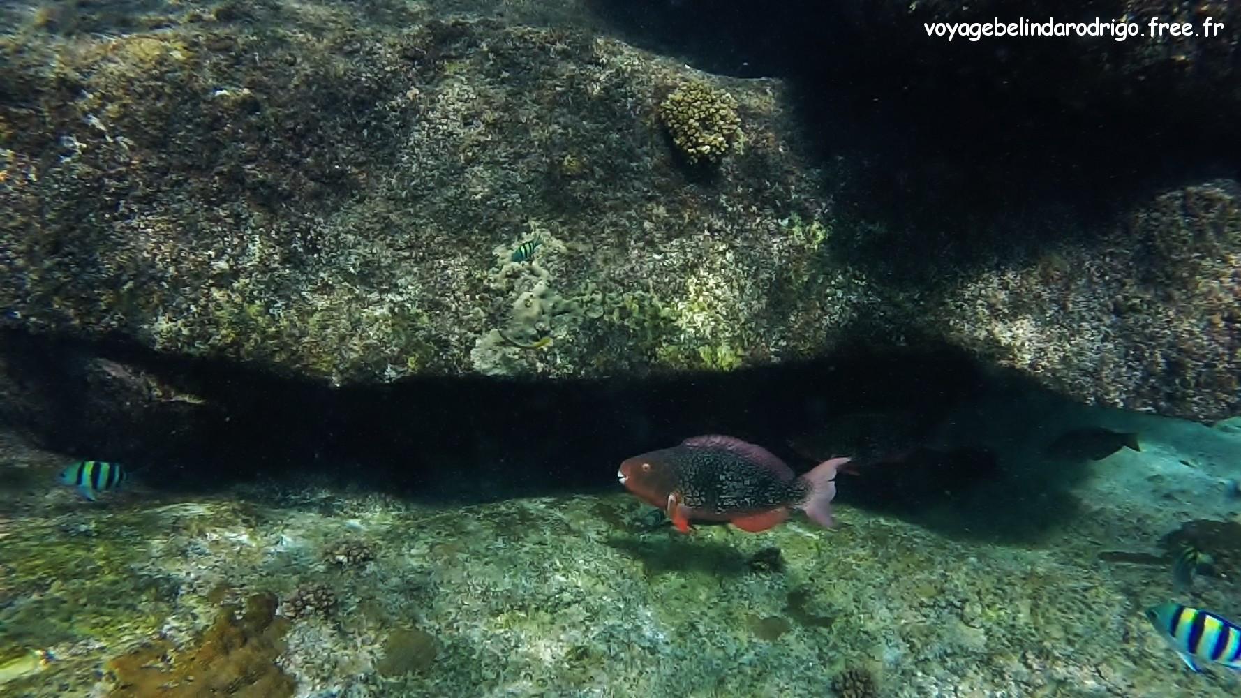 Poisson Perroquet - Snorkeling - Îlot St Pierre - Praslin