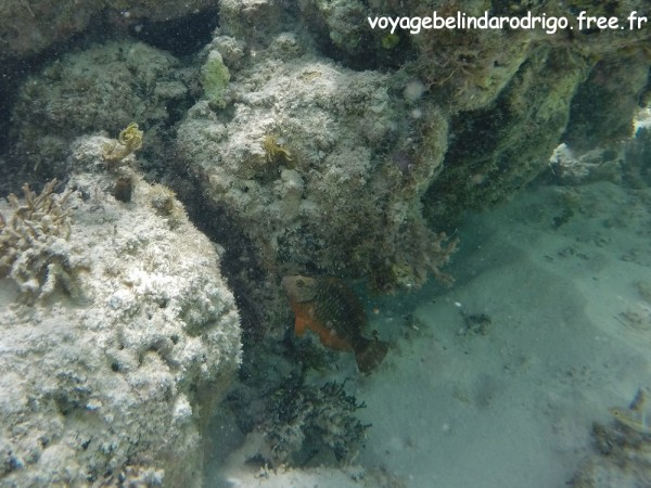 Poisson Perroquet feu - Snorkeling - Canto de la Playa - Isla Saona