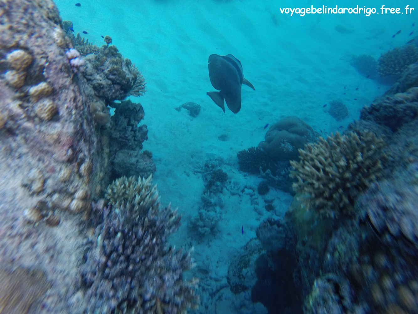 Poisson Platax - Snorkeling - Anse Lazio - Praslin