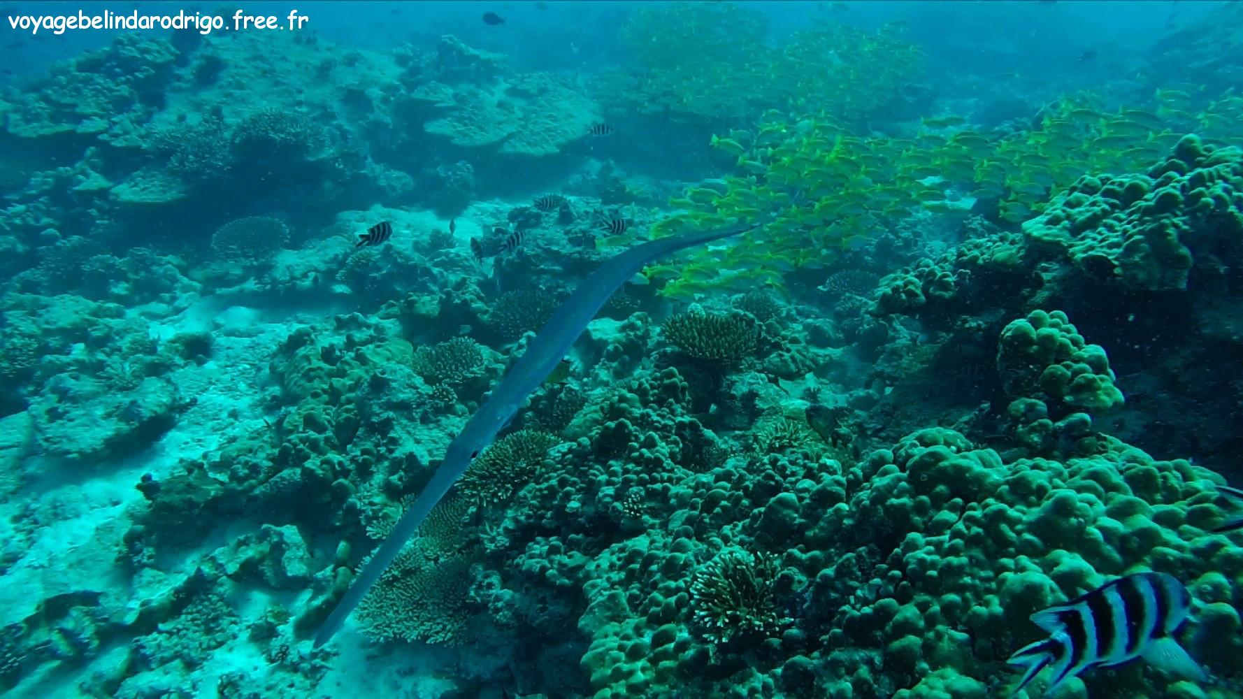 Poisson Trompette - Plongée - Praslin