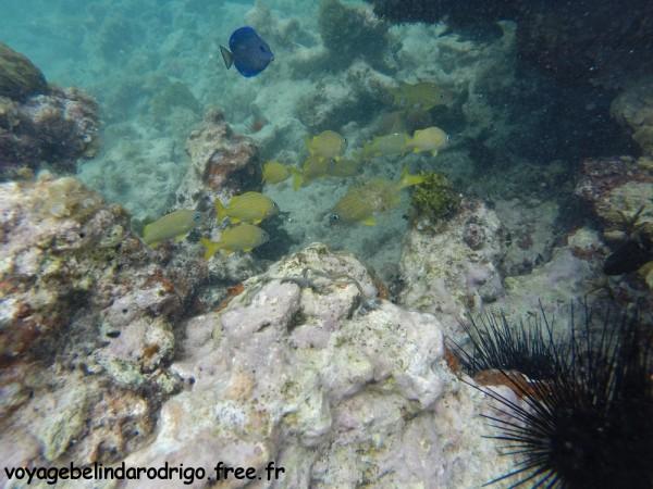 Poissons Grogneurs français ou Gorettes jaunes - Snorkeling - Plage Isla Catalina