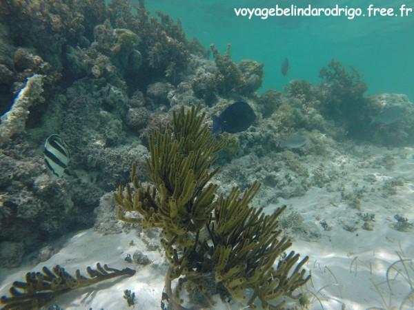 Poissons Papillon rayé et Chirurgien bleu - Snorkeling - Canto de la Playa - Isla Saona