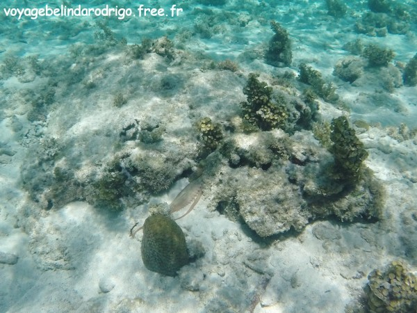 Poulpe - Snorkeling - Playa Fronton - Las Galeras