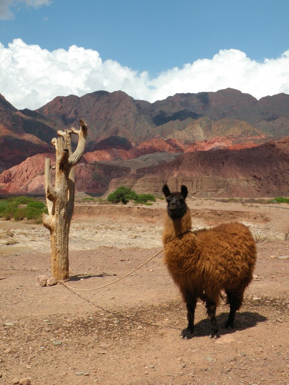 Quebrada de las Conchas - Lamas