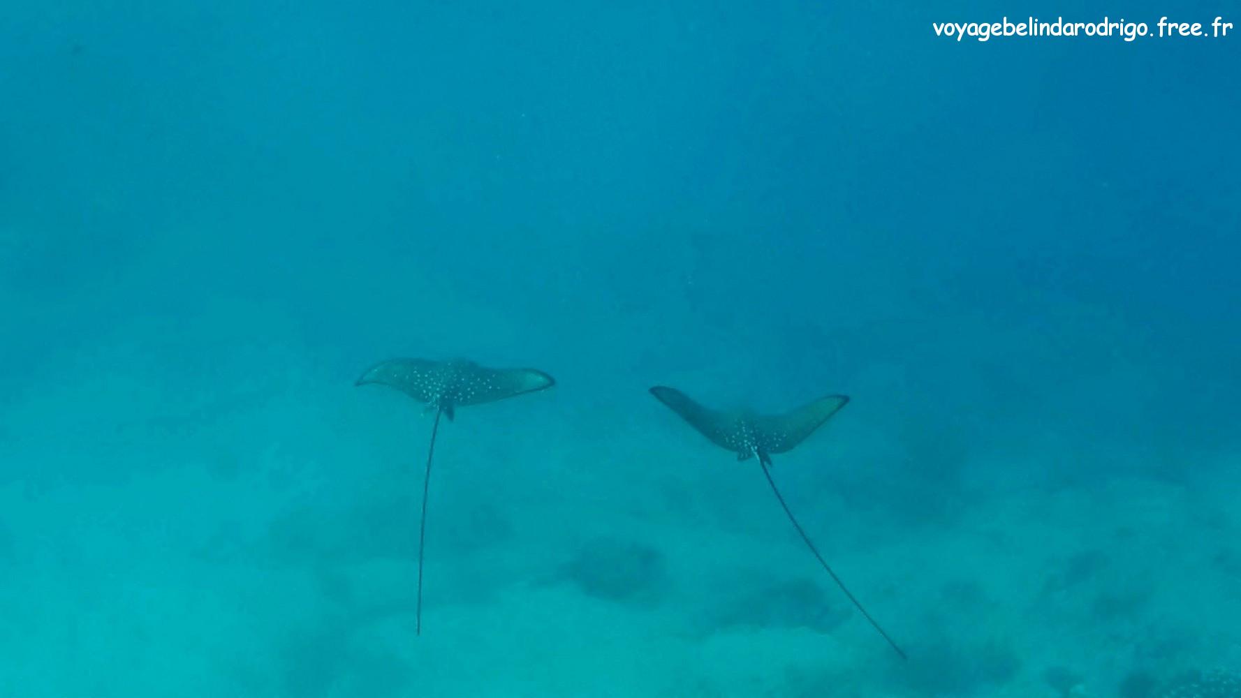 Raies Aigles - Snorkeling - Îlot St Pierre - Praslin