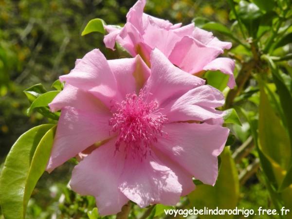 Rosa de Bayahibe - Sendero Padre Nuestro - Parque Nacional del Este